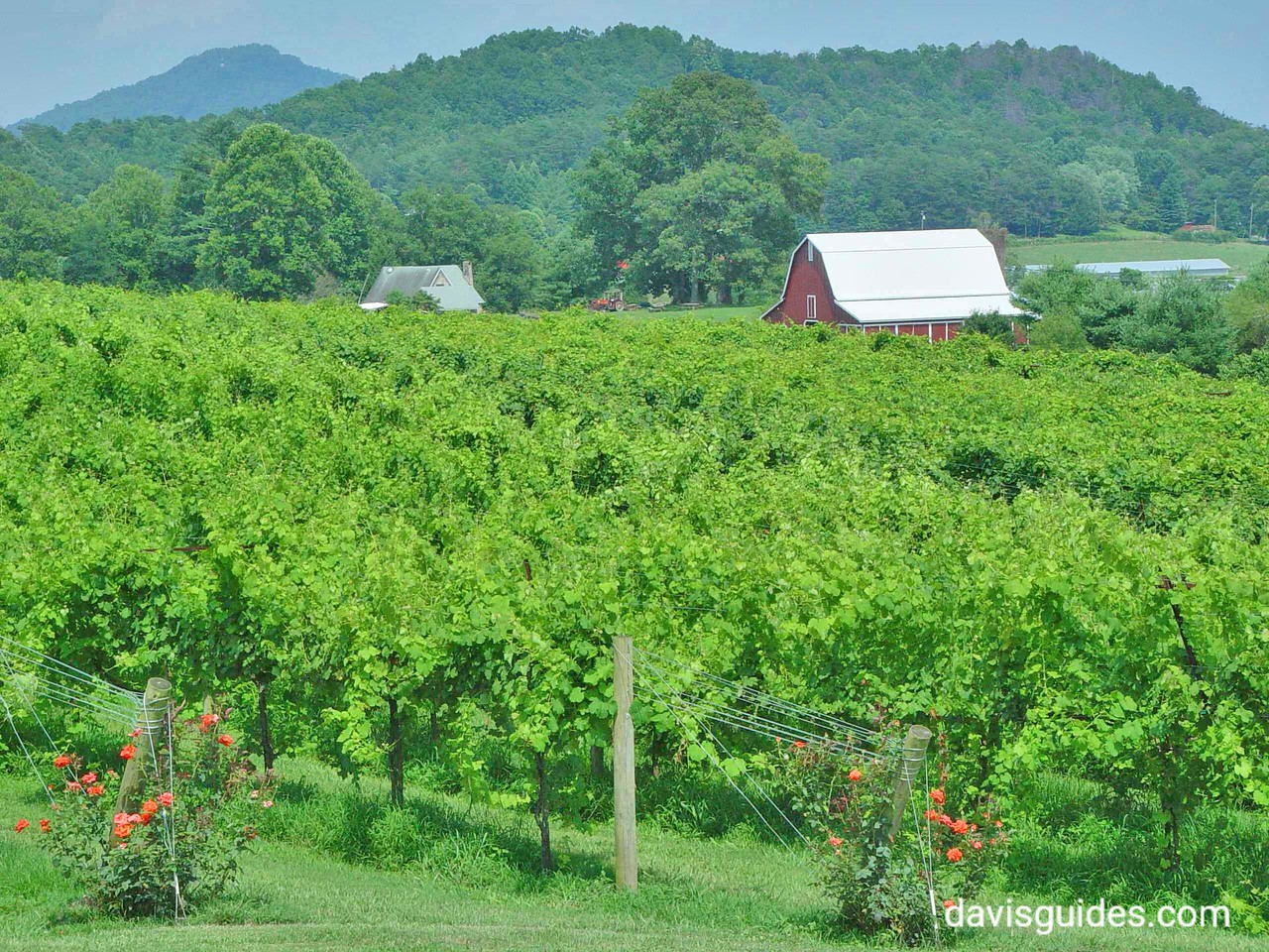 Wine grapes on the vine, North Georgia mountains