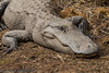 Resting gator in the Okeefenokee Swamp.