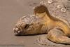 Sea Turtle, Cumberland Island