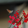 This critter was flitting around the flowers on the balcony outside our hotel room.
