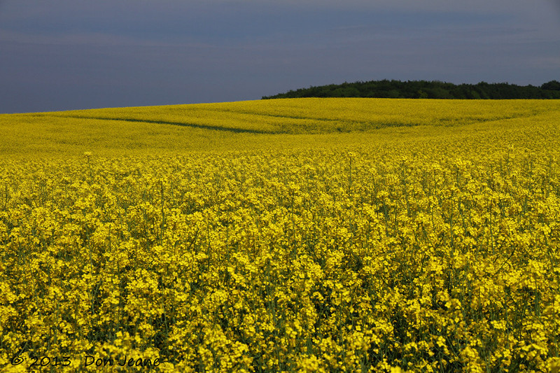 Rapeseed, Rugen Island, May 27, 2013. Related to Canola, but used in Europe for Biodiesel fuel.