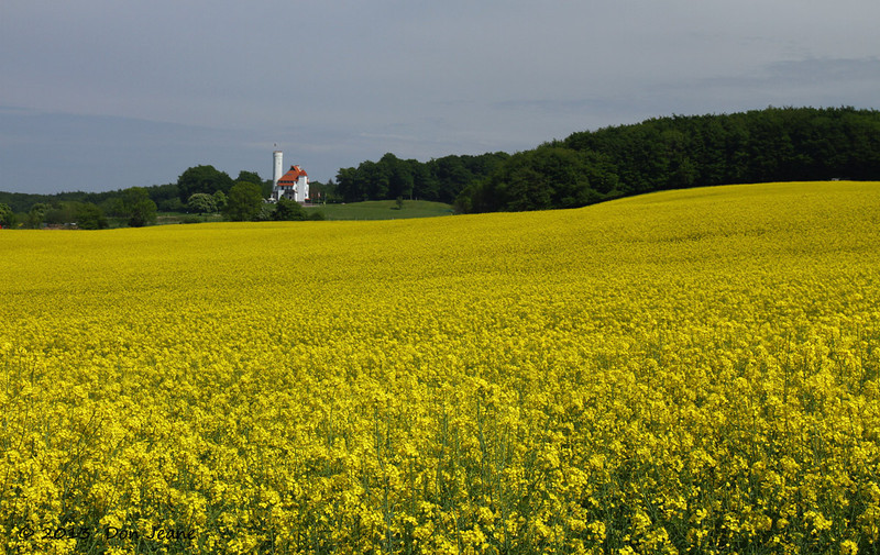 Rapeseed, Rugen Island, May 27, 2013.