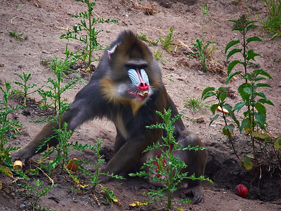 Mandrill lunchtime