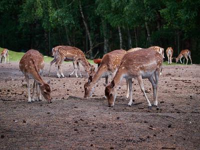 Fallow deer at Serengeti Park
