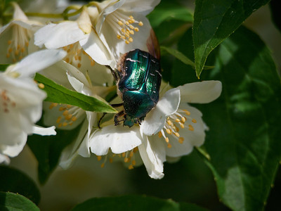 Rose chafer and  English dogwood