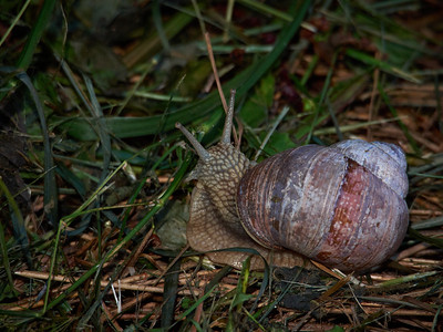 Roman snail