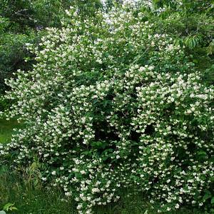 English dogwood