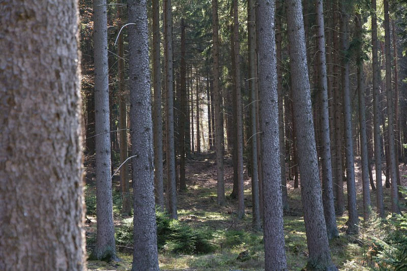 "Another view of forrest, it is said that most forest in Germany are ""planned"" which could explain why the trees are in a straight line."