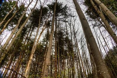 Tree Tops