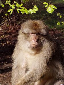 Affenberg in Salem - tame Berber monkeys