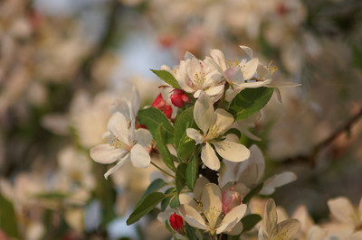 Blossoms in Koblenz