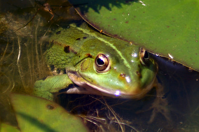 Froggie in the pond in Walheim