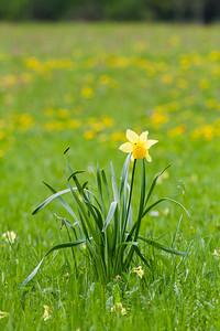 Wild daffodil, Narcissus pseudonarcissus Schwangau, Germany