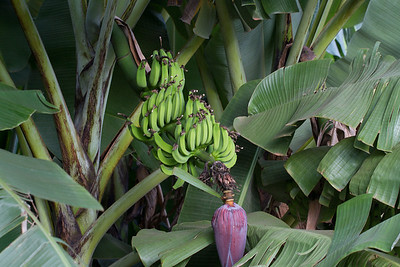 bananas growing over the driveway