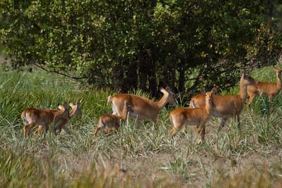 herd of kob
