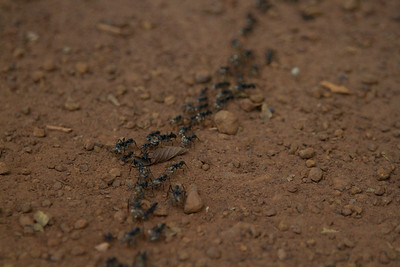 trail of soldier ants