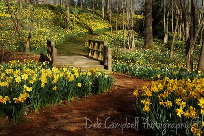 The Daffodil Festival 2014 Gibbs Gardens Ball Ground, Georgia  To view more photos from my trip to Gibbs Gardens, visit the Gibbs Gardens Gallery http://www.debcampbellphoto.com/Travel/Gibbs-Gardens/