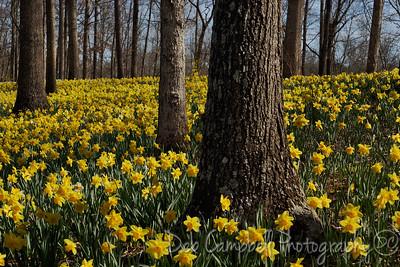 The Daffodil Festival 2014 Gibbs Gardens Ball Ground, Georgia