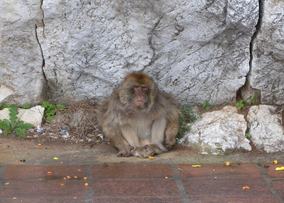 Gibraltar monkey is not amused.