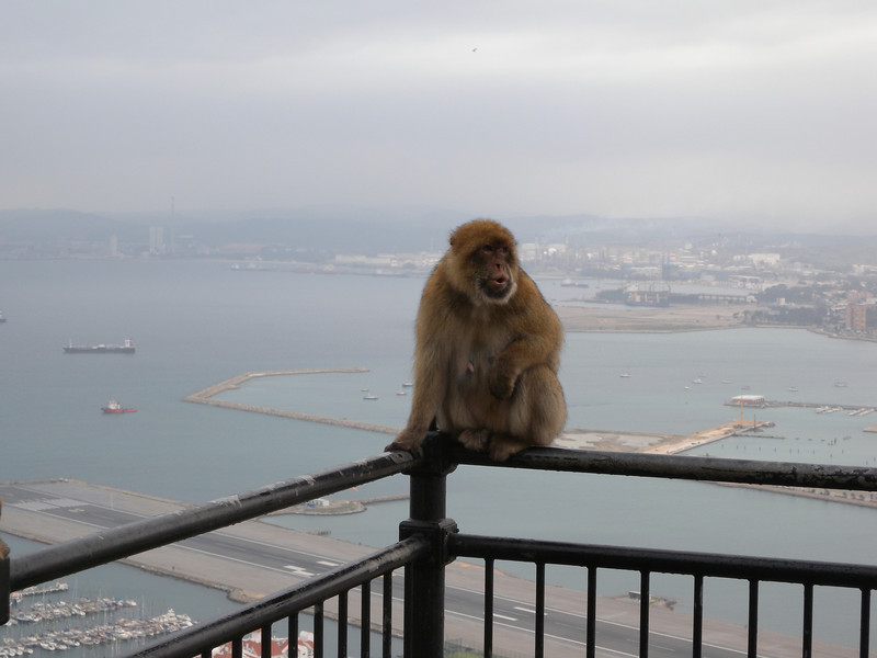 Gibraltar supports the only native species of monkeys on the entire continent of Europe.
