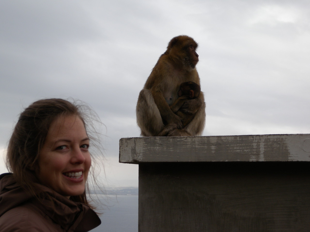They are technically Barbary macaques and were brought here from Africa thousands of years ago by sailors.  And, unlike their North African cousins, they are thriving.