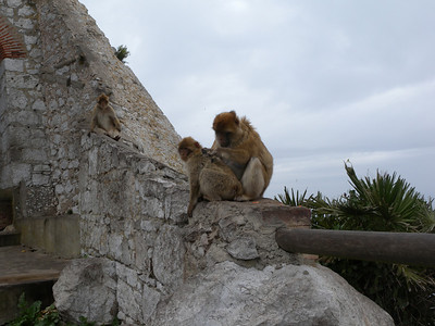 They are a tailless species, and are locally known as Barbary Apes or Rock Apes, despite the fact that they are monkeys.
