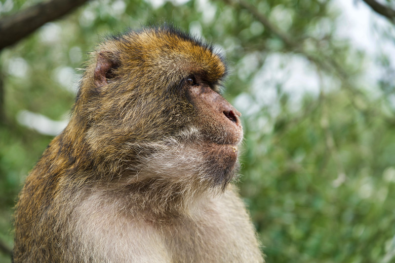 Gibraltar Barbary Macaques Monkey