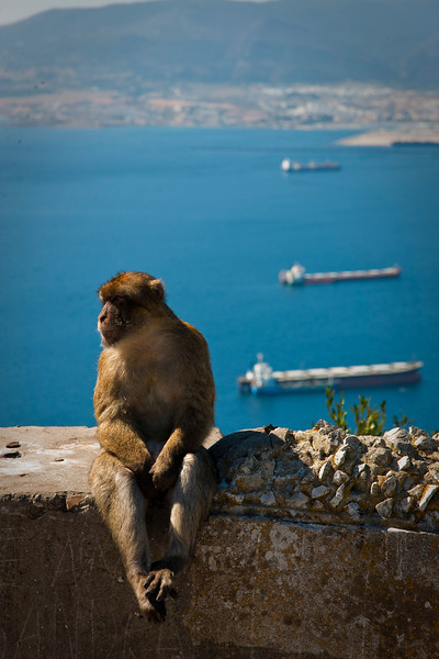 One of the thieving bastard macaques of Gibraltar. I watched one of them jump onto a lady's back and begin opening the zipper of her backpack looking for treats. They have no fear of people, and if they see something they want they'll wait until you're not looking and grab it from you.