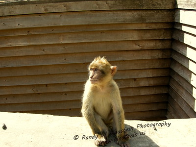 Gibraltar Barbary macaques