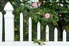 Pink roses and a white picket fence.