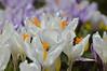 Bees, Crocus, Pollen, GIngins, Switzerland, March 2013