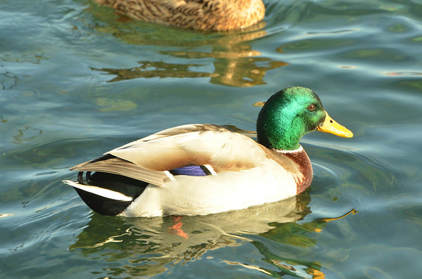 Common Mallard, Port of Nyon, Nyon, Switzerland