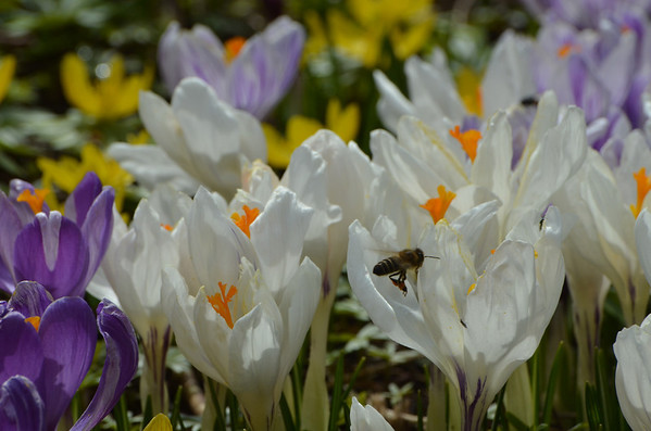 Bees, Crocus, Pollen, GIngins, Switzerland, March 2013