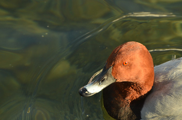 Pochard, Port of Nyon, Nyon, Switzerland