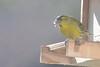 Green Finch, Gingins, Switzerland, March 2013