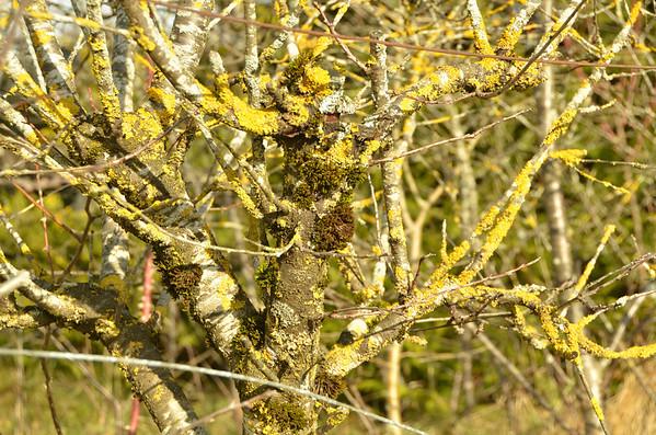 Lichen on brush, Cheserex, Switzerland