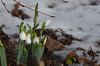 The first snowdrops in Gingins, 4 Feb 2013