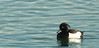 Tufted Duck, Port of Nyon, Nyon, Switzerland