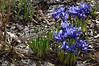 Snow Iris in the rose garden, gingins, Switzerland, March 2013