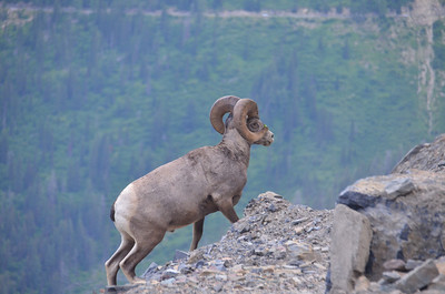 Big Horn sheep at Logan Pass.  Glacier National Park, MT.