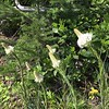 Beargrass blooms.