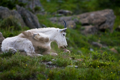 Mountain Goat - Glacier National Park