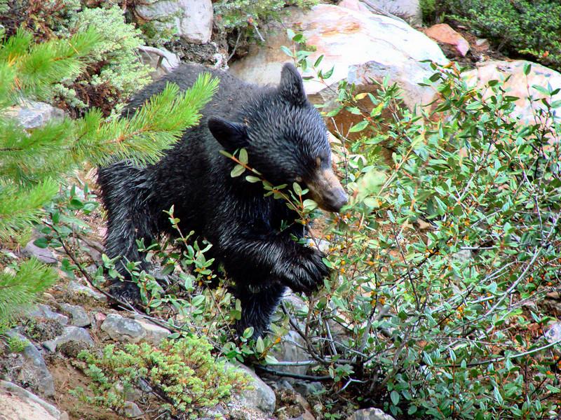 Black Bear - Banff National Park