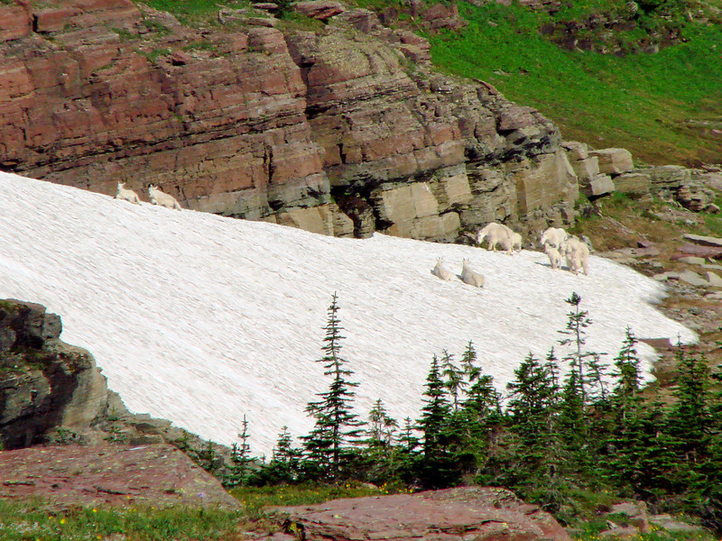 Mountain Goats - Hidden Lake Trail - Logan's Pass - Glacier National Park