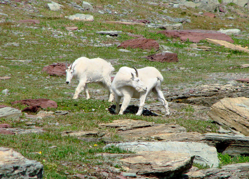Mountain Goats - Logan's Pass - Glacier National Park