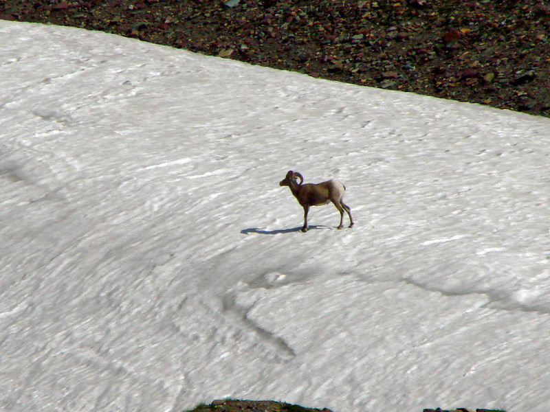 Rocky Mountain Sheep - Hidden Lake Trail - Logan's Pass - Glacier National Park