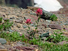 Indian Paintbrush - Logan's Pass - Glacier National Park