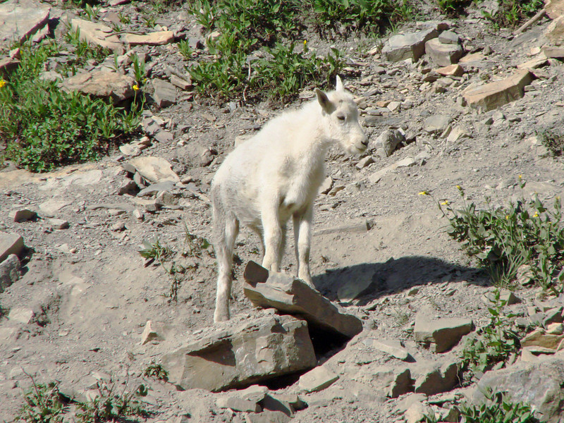 Mountain Goat - Going-to-the-Sun Hwy - Glacier National Park