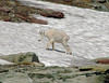 Mountain Goats - Logan's Pass - Glacier National Park