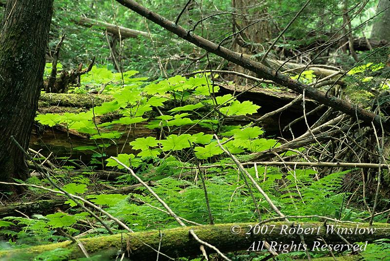 Vegetation, Trail of the Cedars, Glacier National Park, Montana, USA, North America